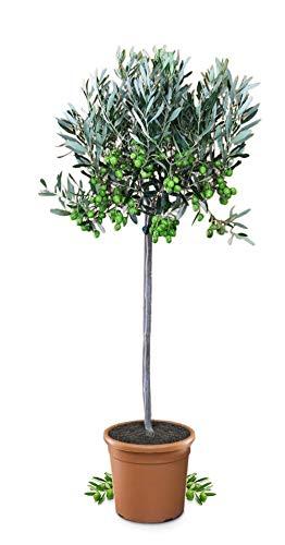 Meine Orangerie Olivenbaum Mezzo - echter Olivenbaum - 80 bis 100 cm - Olea Europaea -...