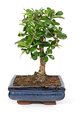 Bonsai Carmona microphylla, S-Form, echter Zimmerbonsai im 8 x 15cm Keramiktopf,...