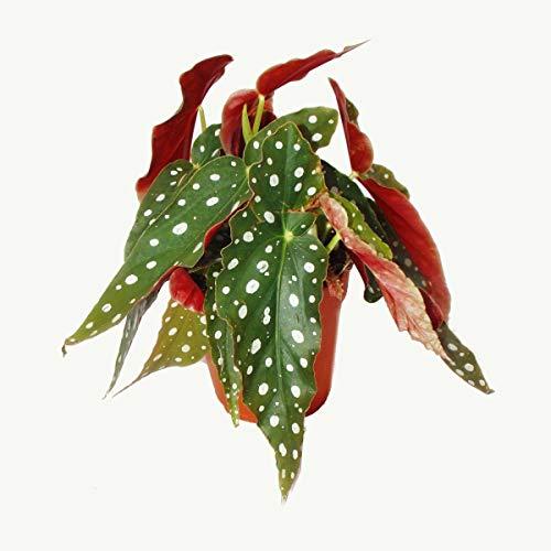 Exotenherz - Polka-Dot Begonie - Forellenbegonie - Begonia maculata wightii