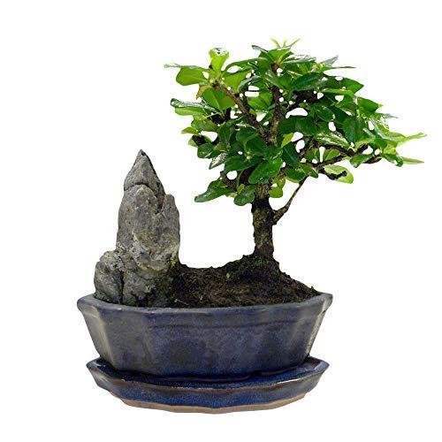 Carmona microphylla | Fukientee | Bonsai Baum inkl Ziertopf Keramik | Höhe 25-30cm |...