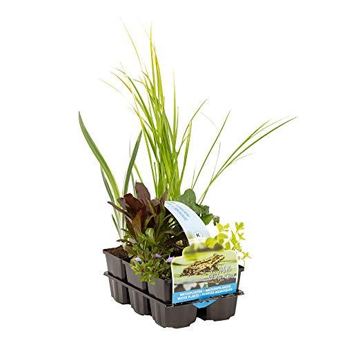 6er Pflanzkorb Set | Teichpflanzen winterhart Set | Sauerstoff Teich | Wasserpflanzen...