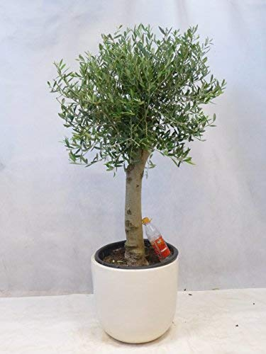 [Palmenlager] Olivenbaum Olea europea 150 cm - Kugel-Hochstamm - dicker Stamm (Umfang...