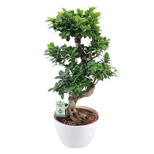 Ficus microcarpa'Ginseng' XL | Chinesische Feige | Bonsai Baum inkl. Ziertopf weiß |...