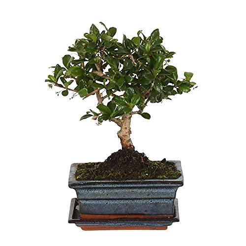 Carmona microphylla   Fukientee   Bonsai Baum inkl Ziertopf Keramik   Höhe 25-30cm  ...