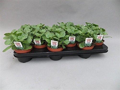 Coleus Canin'Verpiss-Dich'-Pflanze, Katzenschreck, Katzen-Stopp (8 Pflanzen im Set)