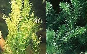Mühlan - Wasserpflanzenmix XXL für den Gartenteich, 5 Sorten Teichpflanzen,...