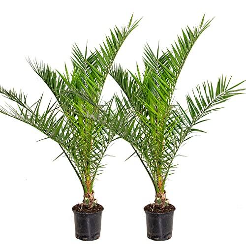 Phoenix 'Canariensis'   Kanarische Dattelpalme pro 2 Stück - Freilandpflanze im...