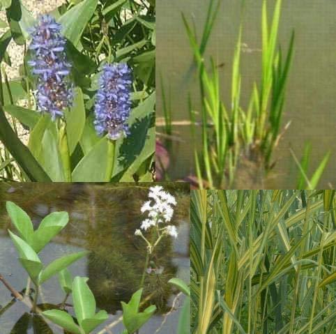 Teichpflanzen Set Mini Teich mit Wasserschwaden, Kalmus, Fieberklee und Hechtkraut aus...