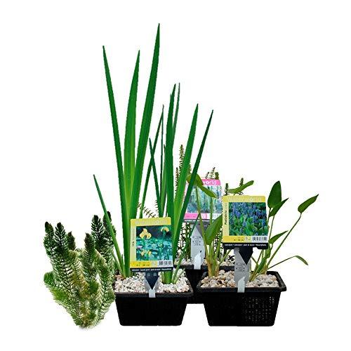 Wasserpflanzen-Paket für Mini-Teich - 15er Set Wasserpflanzen, winterhart - Für 0,5-1...
