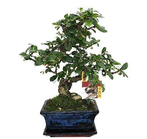 exotenherz - Bonsai Fukientee - Carmona microphylla - ca. 6 Jahre