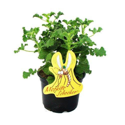 Exotenherz - Moskito-Schocker - Duftgeranie, 3 Pflanzen Pelargonium crispum - Ideal zum...