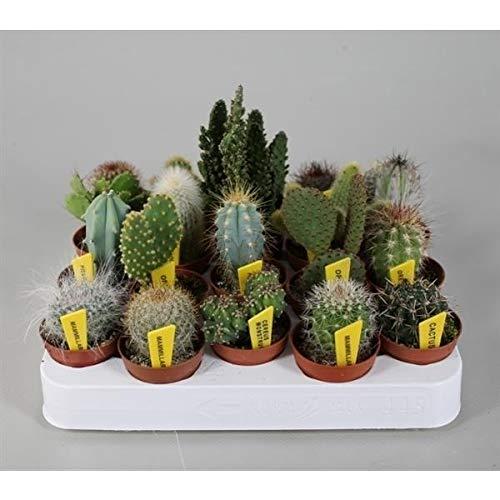 Blumen Senf Mini-Kakteen Set mit 10 Pflanzen + Sortenschilder Zimmerpflanze