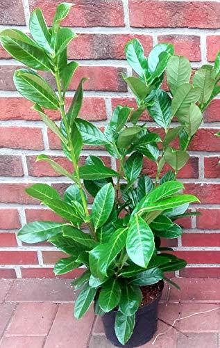 10 Stück Prunus laurocerasus 'Rotundifolia' (Höhe: 60-70 cm / Topfvolumen: 3 Liter),...