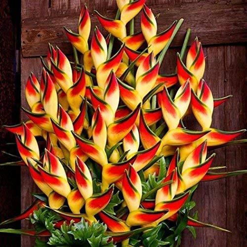 Beautytalk-Garten Raritäten Sperlings Blumen Mucuna Birdwoodiana Blumensamen mehrjährig...
