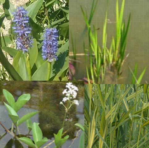 Teichpflanzen Komplettset -6- für den kleinen Teich mit Wasserschwaden, Kalmus,...