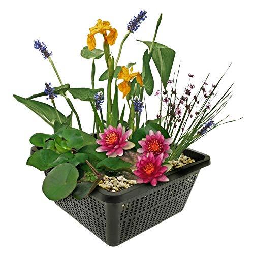 Mini-Teichpflanzen-Set - Multi - 1 rote Seerose, 1 Sauerstoffpflanze, 2 Wasserpflanzen -...