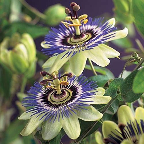 Passiflora caerulea | Blaue Passionsblume | Gartenpflanzen winterhart | Exotische Pflanzen...