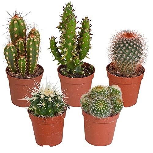 5er Set Kakteen Deko | Kaktus Zimmerpflanze | Kleine Kakteen | Höhe 7-14 cm | Topf-Ø 6...