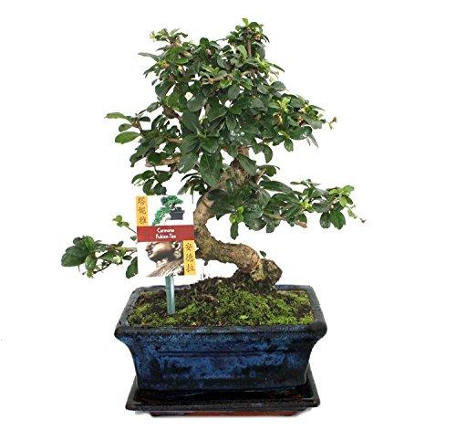 exotenherz - Bonsai Fukientee - Carmona microphylla - ca. 8 Jahre