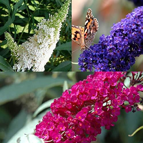 3 X Sommerflieder-Sortiment: 3-er set Schmetterlingsflieder, Duftend und Winterhard   Je...