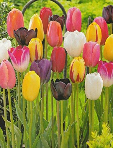 50 gemischte Tulpenzwiebeln Blumenzwiebeln Tulpen