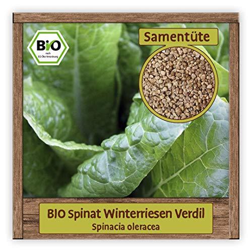 BIO Spinat Samen winterhart Sorte Winterriesen Verdil Winter Salat Gemüsesamen winterhart