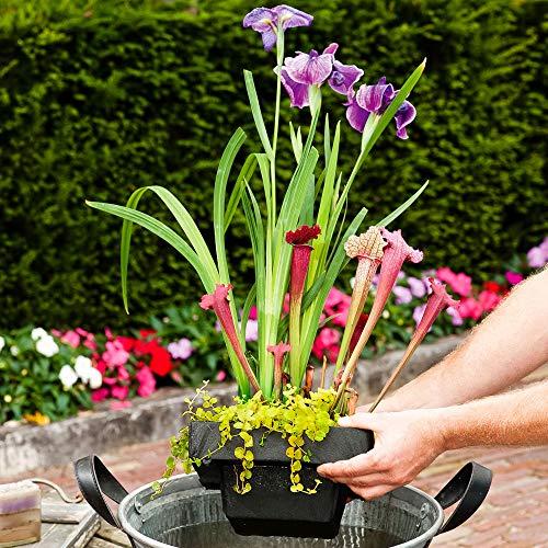 3 Miniteich Pflanzen | Teichpflanzen winterhart Set | Schwimminsel Teich | Höhe 30-40cm |...