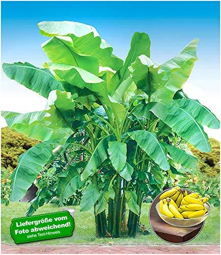 BALDUR Garten Winterharte Bananen 'grün', 1 Pflanze Faserbanane Bananenbaum Musa basjoo...