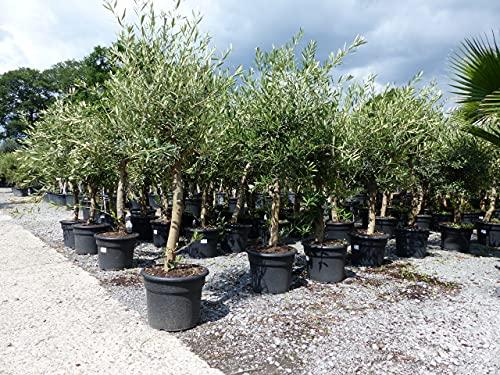 Olivenbaum Olive 'Angebot' 160-180 cm, beste Qualität, winterhart, Olea Europaea