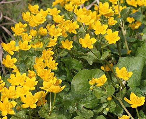 fertig im Pflanzkorb - winterhart! - Caltha palustris - Sumpfdotterblume, gelb -...