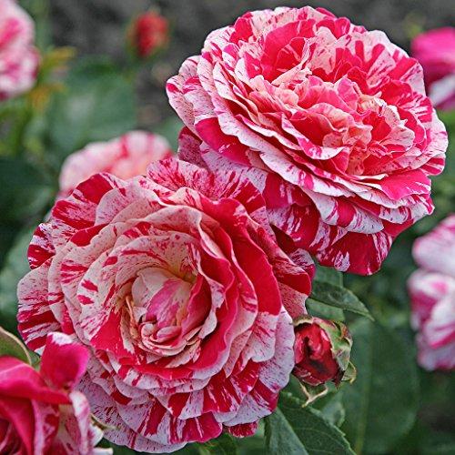 Kordes Rosen Abracadabra Beetrose, rot/weiß/gelb gestreift, 12 x 12 x 40 cm