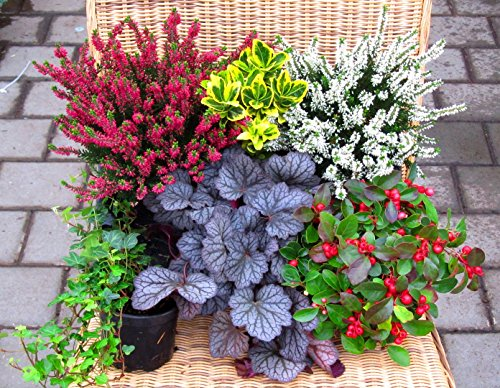 Immergrünes Balkonpflanzen-Set 6 wintergrüne Pflanzen
