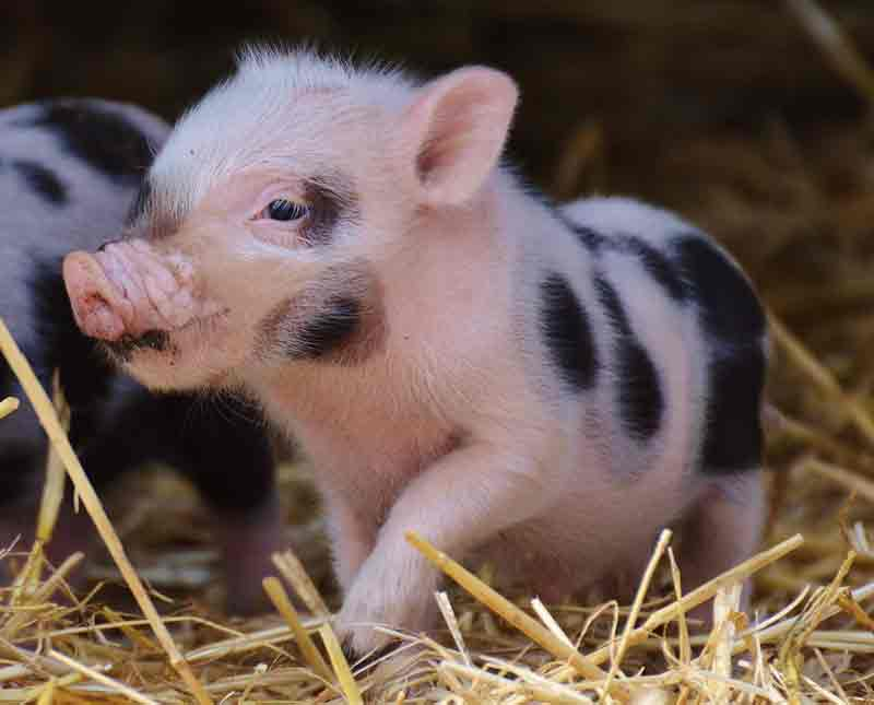 Ist Das Mini Schwein Ein Haustier Darf Es In Der Wohnung Gehalten