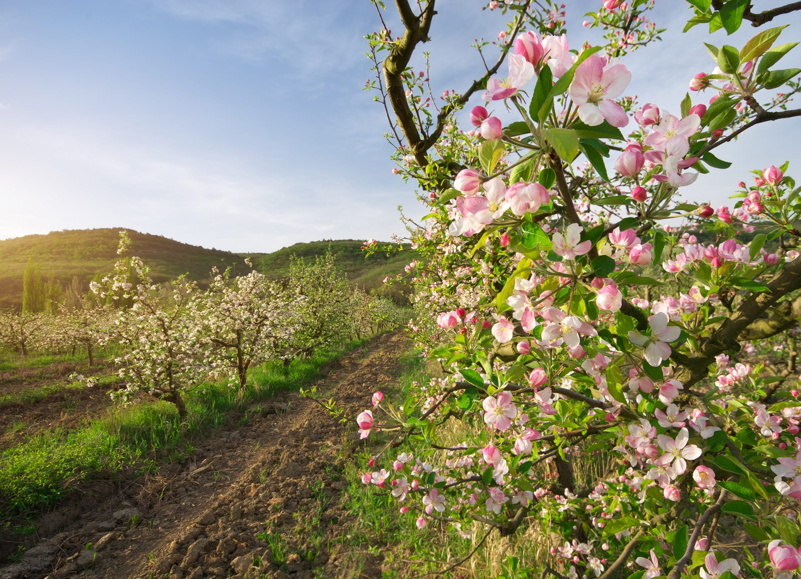 Als Schädlinge können Spinnmilben Apfel- und andere Obstbäume erheblich schaden.