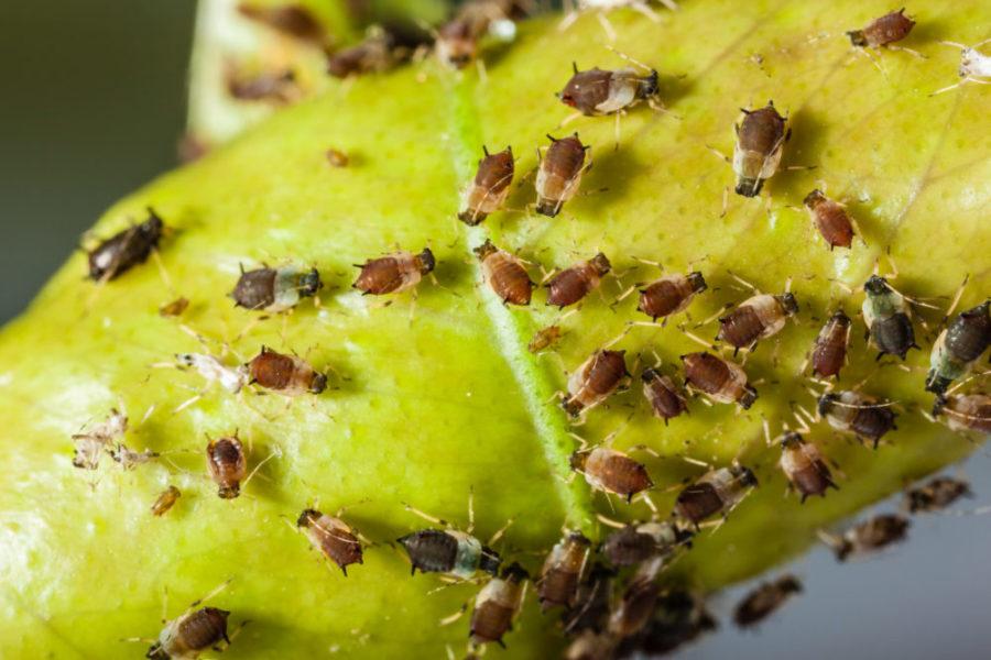 Blattläuse mit Knoblauch bekämpfen scaled