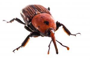 Der Rüsselkäfer, seine Larven können die Pflanzenpracht im Garten schnell zerstören.