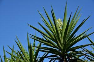 die pflege der yuccapalme ist einfacher, als manch einer denkt