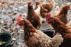 Einen Hühnerstall selber bauen ist eigentlich nicht schwierig.