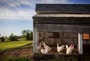 Einen Hühnerstall selber zu bauen ist oft nicht schwierig.