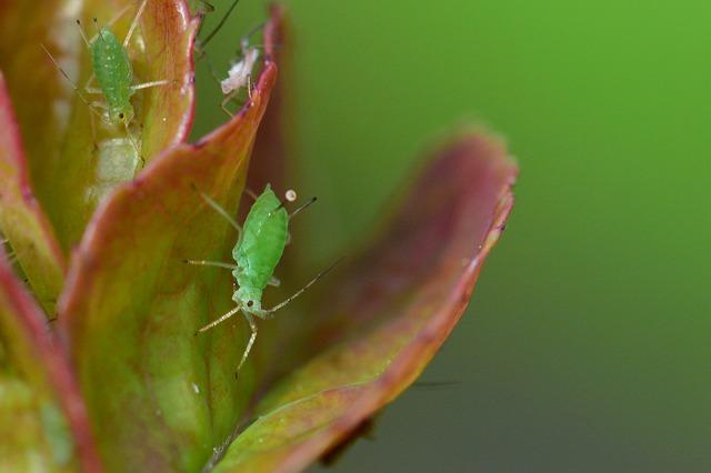 So bekämpfen Sie Blattläuse im Garten.